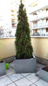 Drzewko Tuja 210cm W Donicy Na Balkon Taras Wawa
