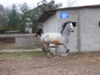 Idealny koń rodzinny wałach ogier 2 lata
