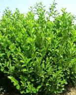 Laurowiśnia wschodnia Caucasica 40-60cm pojemn.3l