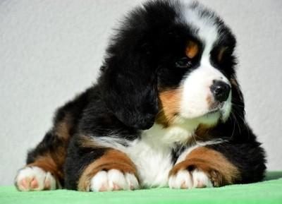 Bernenski Pies Pasterski Doskonale Szczenieta Zkwp 6770546307 Oficjalne Archiwum Allegro