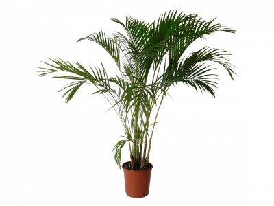 Palma areca Plantas Purificadoras y oxigenadoras