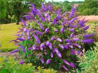 Lawendowy budleya dawida-krzew wabiący motyle