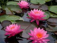 LILIA WODNA nymphaea ROSE AREY różowa FANTASTYCZNA