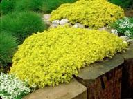 Rozchodnik ostry - sedum acre - żółte dywany