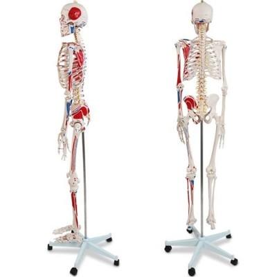 Szkielet Człowieka Ludzki Model Anatomicznyplakat