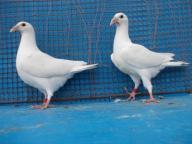 białe pocztowe ozdobne gołąb,gołębie