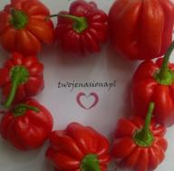 Habanero Carribean Red chili chilli nasiona papryk