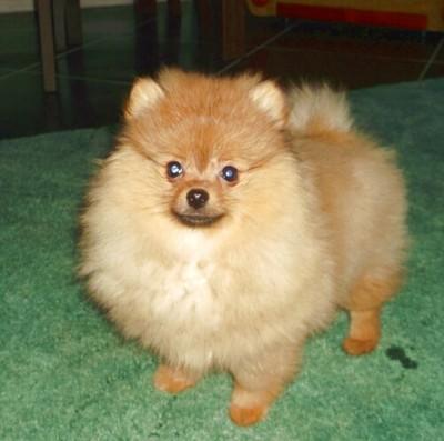 Szpic Miniaturowy Pomeranian Boo Piesek 6675608353 Oficjalne Archiwum Allegro