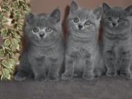 Koty Brytyjskie- GDAŃSK