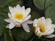Lilia wodna BIAŁA rośliny wodne do oczka