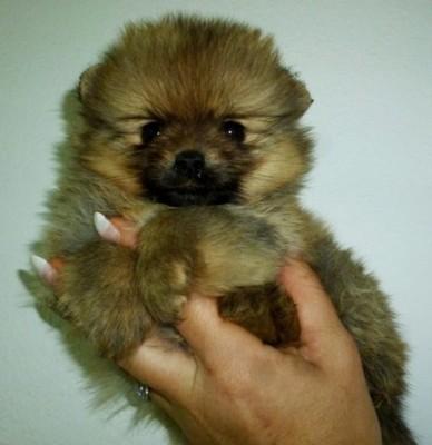 Szpic Miniaturowy Pomeranian 6626594825 Oficjalne Archiwum Allegro
