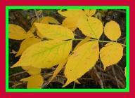 Jesion pensylwański drzewka 90-100 cm