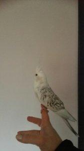 Papuga nimfa biała