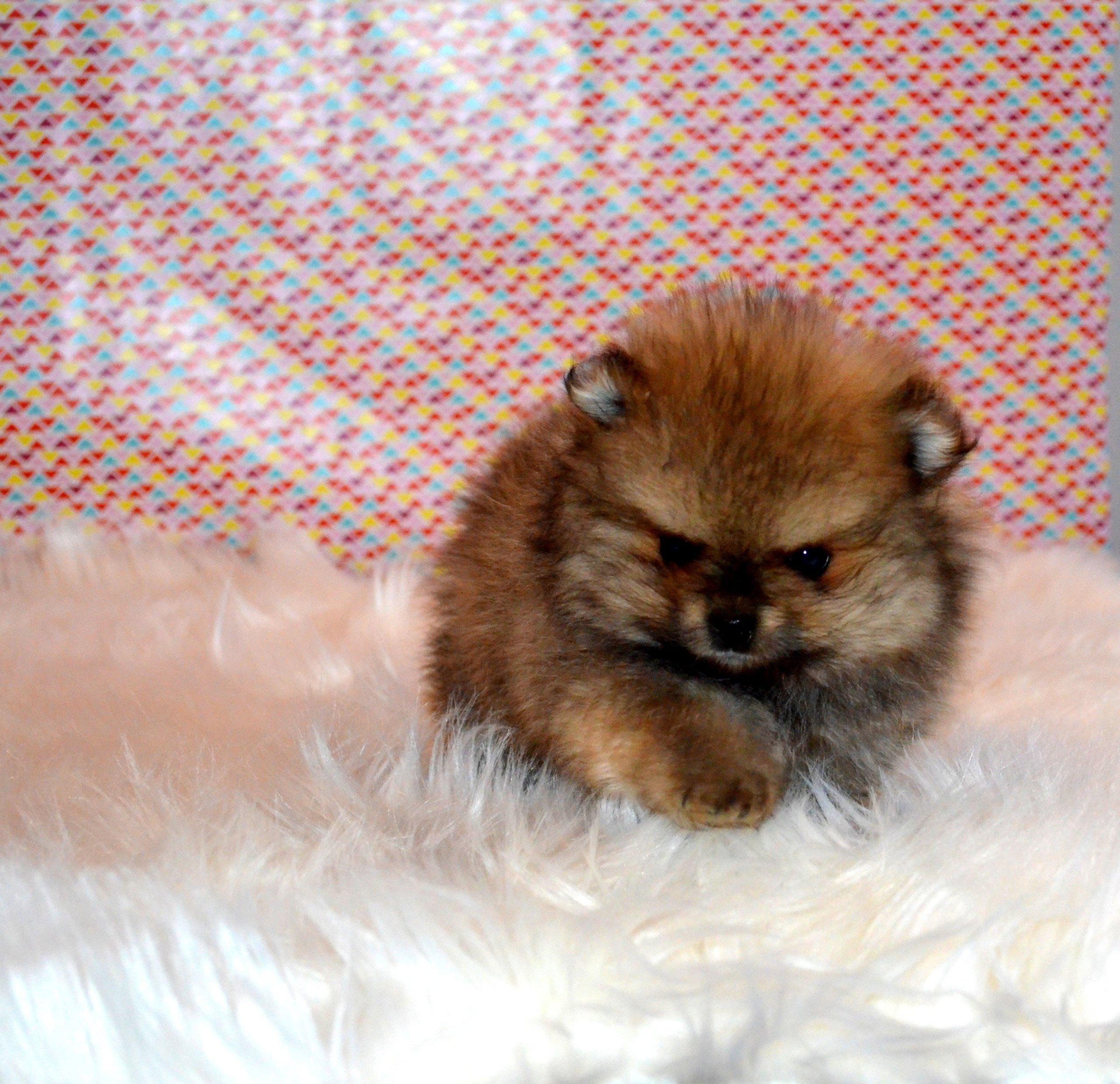 Pomeranian Szpic Miniaturowy Piesek Boo Rodowod 7023307794 Oficjalne Archiwum Allegro