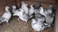 Gołębie pocztowe, młódki. Wysyłka