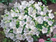 Dzwonek karpacki Pearl White - doniczka 9cm