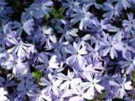 Płomyk szydlasty floks Emerald Blue