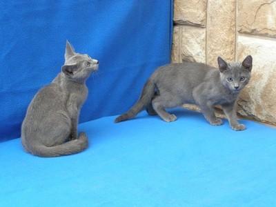 Kot Rosyjski Niebieski Kocięta Rosyjskie 6823152152 Oficjalne