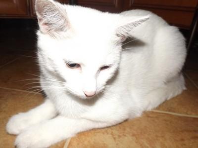 Kot Cała Biała Kotka Albinos 7 Miesięcy Oddam 6788813080