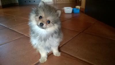 Pomeranian Szpic Miniaturowy Z Rodowodem 5656623653 Oficjalne Archiwum Allegro