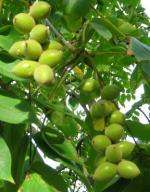 Orzech sercowaty- smaczne owoce b.dekoracyjny 2l