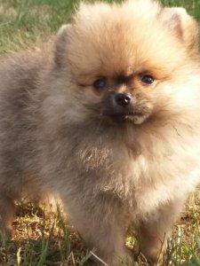 Szpic Miniaturowy Pomeranian 6411484785 Oficjalne Archiwum Allegro