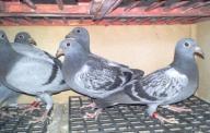 Młode gołębie pocztowe - 6 szt.