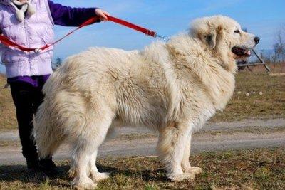 Pirenejski Pies Gorski Zapowiedz Miotu 6530611104 Oficjalne Archiwum Allegro