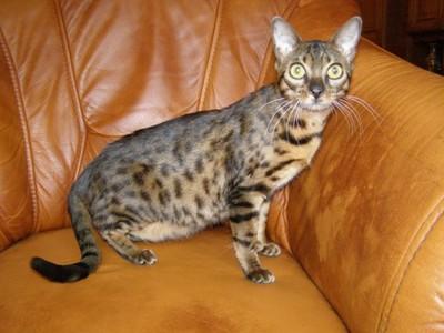 Ogromny Kot Bengalski kocięta bengalskie - 6791385466 - oficjalne archiwum KK93