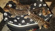 Koty bengalskie rodowód TICA - cat bengal