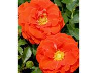 Rosa 'Liwa Courtyard' - Róża pnąca POMARAŃCZOWA XL