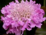 Driakiew japońska różowa Pink Diamonds