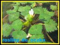 ORZECH WODNY KOTEWKA roślina pływająca wodna oczka