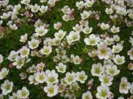 Skalnica Schneeteppich - zimozielone poduchy