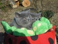 Brytyjskie niebieskie koty i kotki