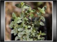 Mięta Górska (Pycnanthemum Pilosum) SADZONKA