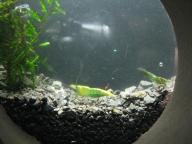 krewetki Grin Jade -10 sztuk