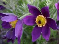 Sasanka fioletowa Violet Bells - doniczka 9 cm