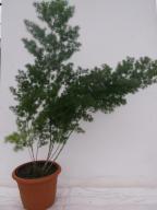 Asparagus modrzewiowy
