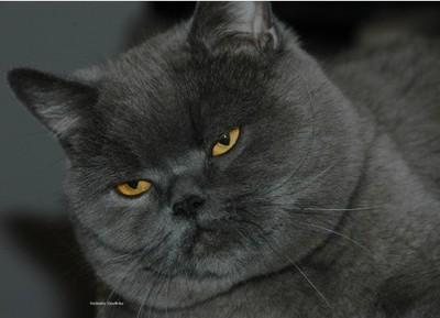Kocięta Brytyskie Kot Brytyjski Rodowód Fci 6773221992 Oficjalne