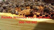Odkłady pszczele, Pszczoły, matki, Apis melifera,