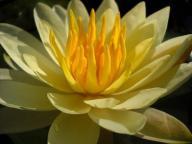LILIA WODNA nymphaea CHARLENE STRAWN żółte kwiaty!