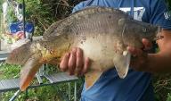 Sprzedam karpia ,ryba hodowlana 0,5 do 1kg