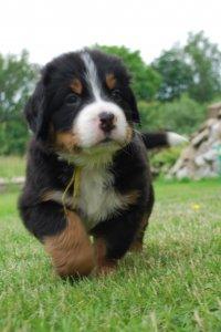 Bernenski Pies Pasterski Szczeniaki Rodowod Zkwp 6266866729 Oficjalne Archiwum Allegro