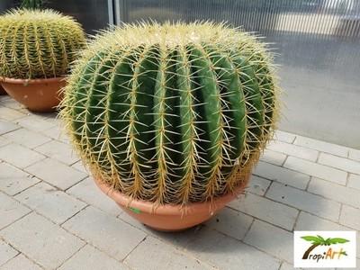 Gigant Kaktus Grusoni Fotel Teściowej Echinocactus