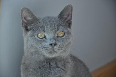 Młody Kot Brytyjski Niebieski Z Rodowodem 6455350392 Oficjalne
