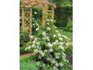 Hydrangea petiolaris - Hortensja pnąca - HIT !!!!