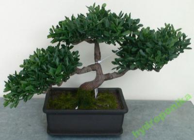 Bonsai Osaka Bukszpan 3025 Cm Drzewko Jak Z Ikea