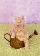 Maine coon kotki, kocięta