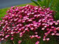 Skalnica Purpurteppich zimozielone poduchy